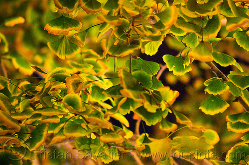 ginkgo biloba leaves, gingko biloba, ginkgo biloba, leaves, night, tree