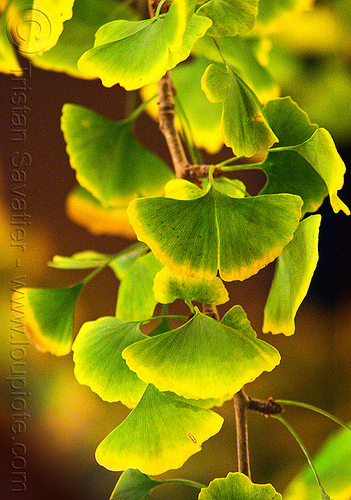 ginkgo biloba leaves, gingko, gingko biloba, night, plant, tree
