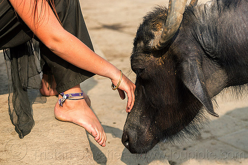 girl and inquisitive water buffalo (india), feet, ghats, hand, india, sitting, street cow, varanasi, water buffalo, woman
