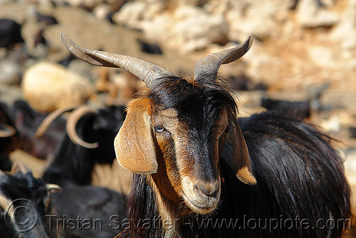 goat, goat head, horns