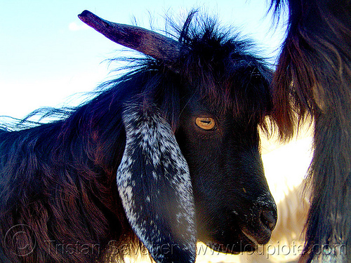 goat head, black goat, ear, eye, goat head, horns