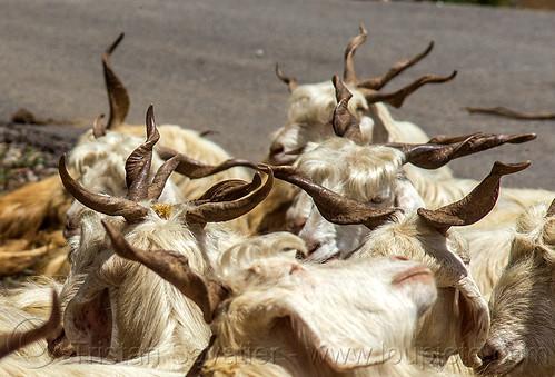 goat horns, capra aegagrus hircus, changthangi, herd, pashmina, wild goats, wildlife