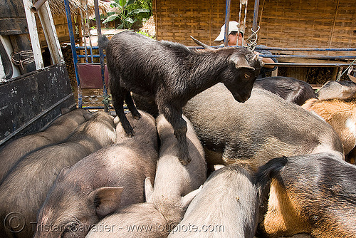 goat kid on pigs - laos, child, crowded, goat, kid, pigs