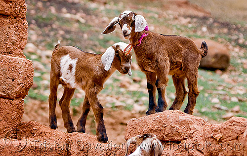 goat kids, abra el acay, acay pass, goat kids, goats, noroeste argentino, small, wall