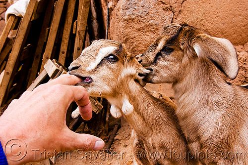 goat kids suckling, abra el acay, acay pass, finger, goat kids, goats, hand, noroeste argentino, small, suckling, wall