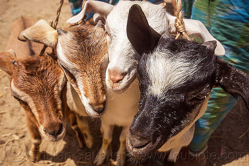 goat kids - young goats (india), cattle market, goat kids, goats, heads, west bengal