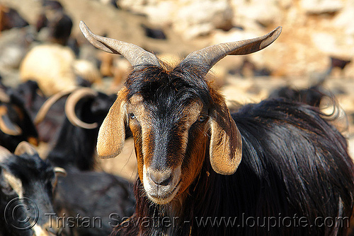 goat, brown, goat head, horns
