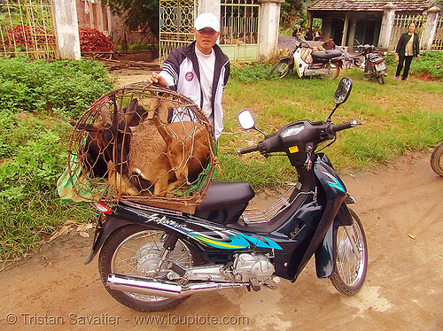 goats on scooter - vietnam, 110cc, cage, goats, moto, motor star 110, motorbike, motorstar, underbone motorcycle