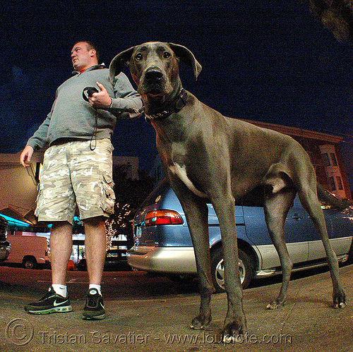 great dane dog, big dog, fisheye, great dane, man