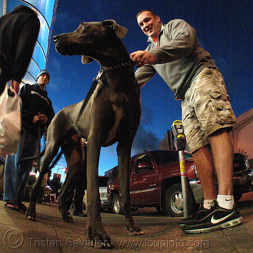 great dane dog (san francisco), big dog, fisheye, great dane, man