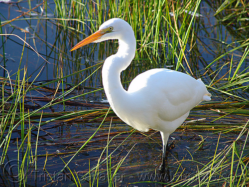 great egret (ardea alba), ardea alba, grass, great egret, heron, marsh, wetland, white, wild bird, wildlife