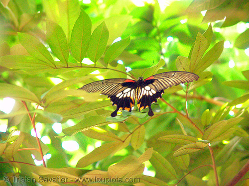 great mormon butterfly - flying - female (papilio memnon) - vietnam, achates, agenor, batesian, distantianus, female butterfly, flying, great mormon, insect, leaves, papilio memnon, polymorphic, vietnam, wildlife