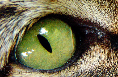 green cat eye - close-up, cat eye, close up, green eyed, green eyes