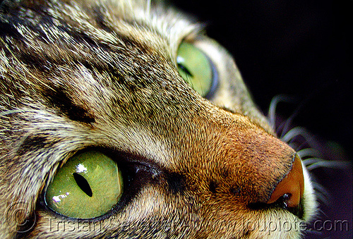 green cat eyes - close-up, cat eyes, green eyed, green eyes, nose, snout, tabby cat, българия