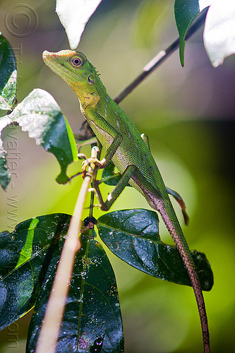 green crested lizard - bronchocela cristatella, green tree lizard, jungle, rain forest, reptile, wildlife
