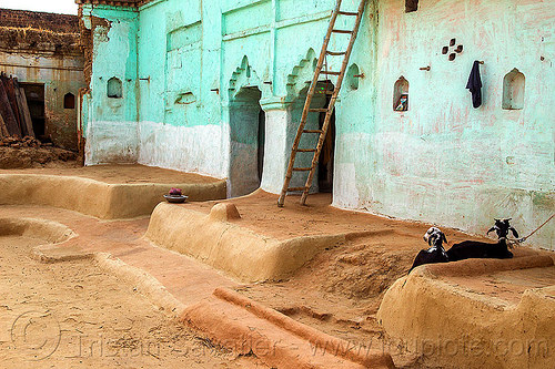 green house with earthen floor (india), adobe floor, earthen floor, goats, green house, india, khoaja phool, ladder, village, खोअजा फूल