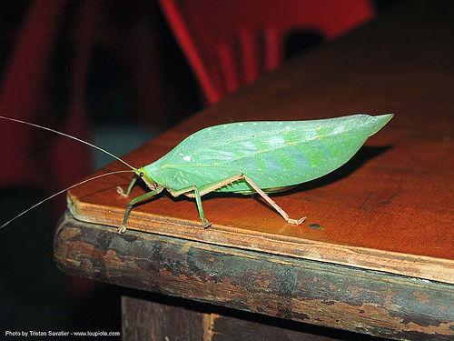 katylid, green, insect, katydid, sangklaburi, wildlife, ประเทศไทย, สังขละบุรี