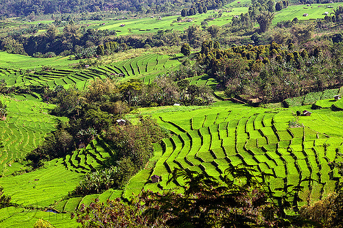 green rice paddies in terraces - flores (indonesia), flores island, indonesia, rice paddies, rice paddy fields, terrace farming, terraced fields
