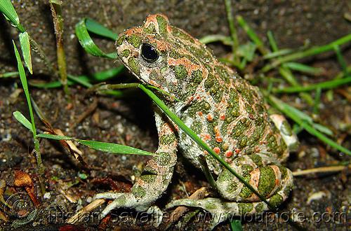 green toad - bufo viridis (bulgaria), amphibian, frog, българия