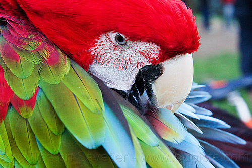 green-winged macaw parrot bird grooming, ara chloropterus, beak, bird, colorful, feathers, green-winged macaw, grooming, head, parrot, psittacidae, red-and-green macaw