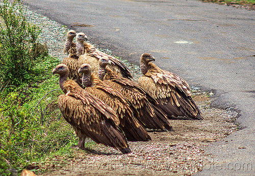 group of himalayan vultures on ground (india), birds, gyps himalayensis, himalayan griffon, himalayan vultures, india, raptors, road, scavengers, wild bird, wildlife