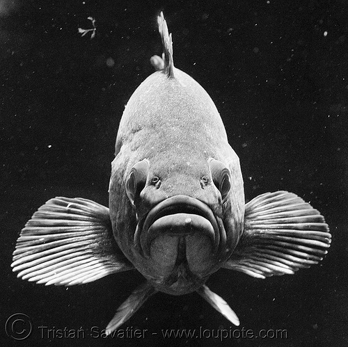 grouper fish face, epinephelinae, fish, grouper, low key, perciformes, serranidae
