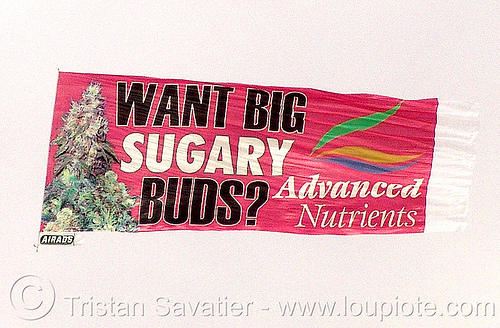 grow bigger buds - aerial advertising banner dragged by a helicopter over black rock city - advanced nutrients, advanced nutrients, aerial ad, aerial advertising, aerial banner, airads, burning man, commercial, ganja, sugary bugs, want big sugary buds, weed