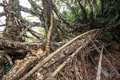 growing a living root bridge near mawlynnong (india), bamboo, banyan, east khasi hills, ficus, ficus elastica, footbridge, jungle, meghalaya, rain forest, rocks, roots, strangler fig, trees