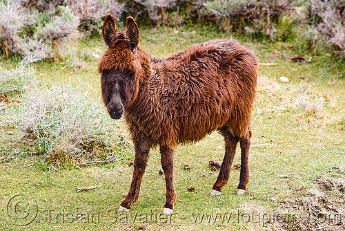 hairy donkey - nubra valley - ladakh (india), asinus, donkey, equus, fur, furry, hairy, ladakh, nubra valley, panamik