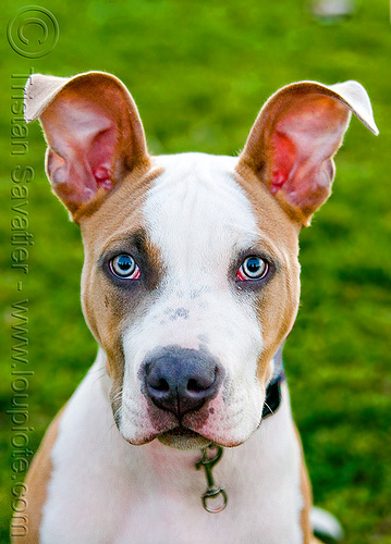 head of pitbull dog with big ears, clear eyes, dog, ears, head, pit bull terrier, pitbull, snout