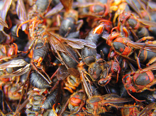 heap of live red wasps at a market (vietname), cao bằng, edible bugs, edible insects, entomophagy, food, vietnam