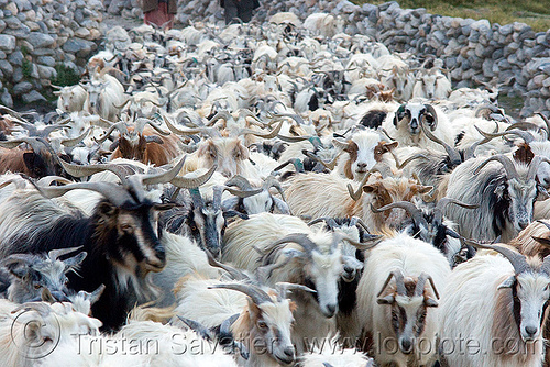herd of himalayan long-haired goats, changthangi, goats, herd, india, ladakh, pashmina, spangmik