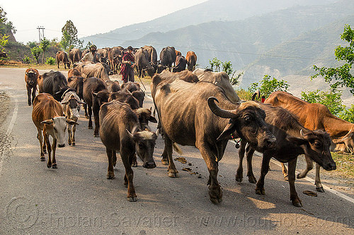 herd of water buffaloes and cows on road (india), cows, herd, india, man, muslim, road, walking, water buffaloes