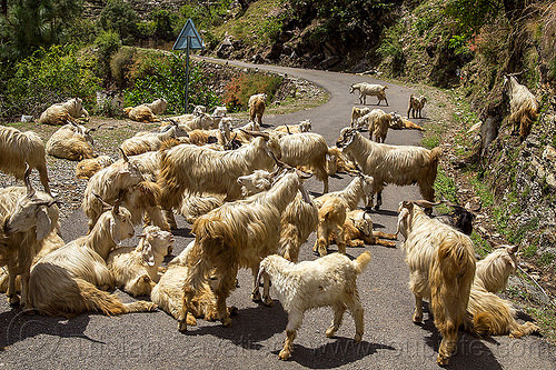 herd of wild himalayan long-haired goats on road, capra aegagrus hircus, changthangi, herd, india, pashmina, road, wild goats, wildlife