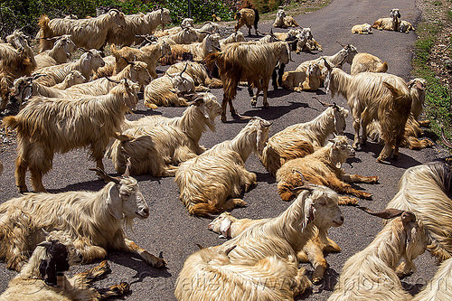 herd of wild long-haired goats, capra aegagrus hircus, changthangi, herd, lying down, pashmina, road, wild goats, wildlife
