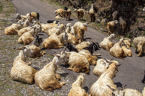 herd of wild long-haired goats lying on road, capra aegagrus hircus, changthangi, herd, lying down, pashmina, road, wild goats, wildlife