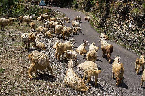 herd of wild long-haired mountain goats on road, capra aegagrus hircus, changthangi, herd, india, pashmina, road, wild goats, wildlife