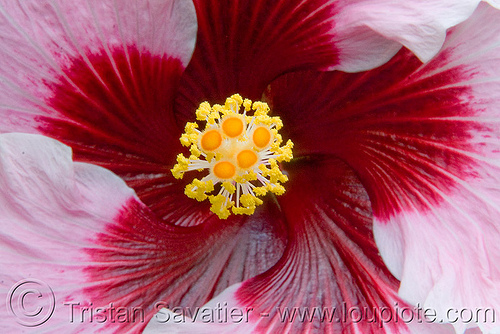 hibiscus rosa-sinensis - hibiscus flower, china rose, chinese hibiscus, close-up, conservatory of flowers, hibiscus rosa-sinensis, hibiskus, macro, pink, plant, shoe flower, tropical flower
