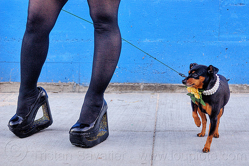 high heel platform shoes and little dog, black stockings, black tights, blue wall, dog collar, dog leash, eclair acuda bandersnatch, flower, glitter, high heel shoes, little dog, pearls, platform shoes, san franciscopeople, small dog, woman