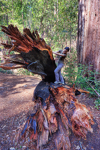 hiker climbing on a fallen redwood tree (vantana wilderness), big sur, burned tree, burnt tree, climbing, fallen tree, forest, hiking, pine ridge trail, redwood tree, sequoia sempervirens, standing, tree trunk, trekking, vantana wilderness, woman