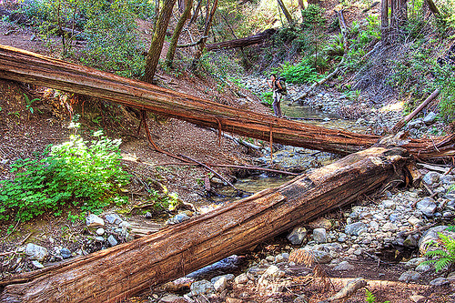 hiker crossing a fallen tree bridge (vantana wilderness), backpack, backpacking, big sur, fallen tree, forest, hiking, pine ridge trail, redwood tree, sequoia sempervirens, tree bridge, tree trunk, trekking, vantana wilderness, woman