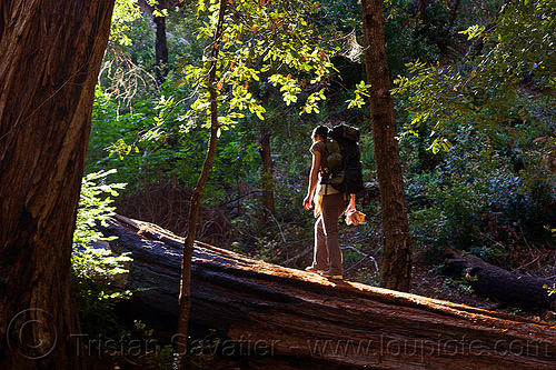 hiker walking on fallen redwood tree (vantana wilderness), backpack, backpacking, big sur, fallen tree, forest, hiking, pine ridge trail, redwood tree, sequoia sempervirens, tree bridge, tree trunk, trekking, vantana wilderness, woman