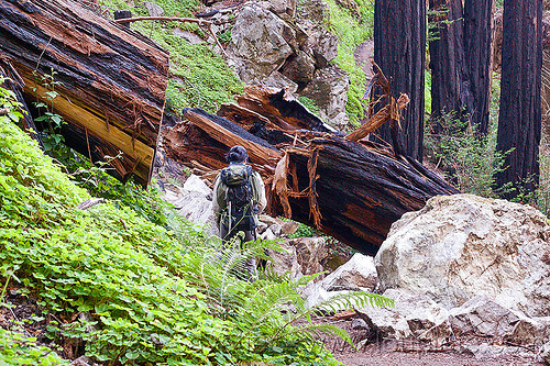 hiking trail cutting through fallen redwood tree trunks (vantana wilderness), backpack, backpacking, big sur, fallen tree, forest, hiking, pine ridge trail, redwood tree, sequoia sempervirens, tree log, tree trunk, trekking, vantana wilderness, woman