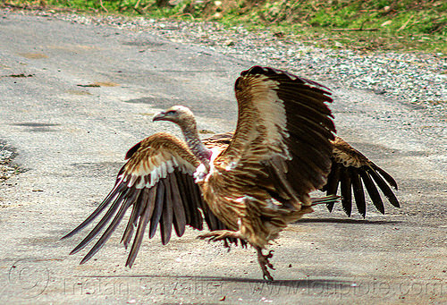 himalayan vulture jumping on road (india), birds, gyps, gyps himalayensis, himalayan griffon, himalayan vultures, raptors, scavengers, walking, wildlife, wings
