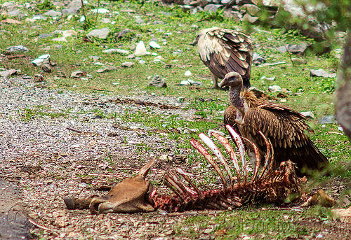 himalayan vultures near dead cow carcass, birds, carcass, carrion, dead cow, decomposing, gyps himalayensis, head, himalayan griffon, himalayan vultures, india, raptors, rib cage, ribs, roadkill, scavengers, skeleton, spine, wild bird, wildlife
