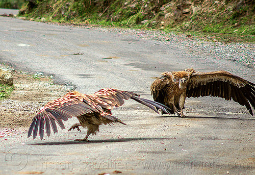 himalayan vultures on ground - spreading wings (india), birds, gyps himalayensis, himalayan griffon, himalayan vultures, raptors, road, scavengers, wildlife