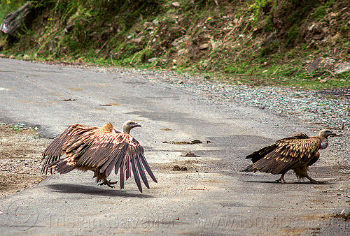 himalayan vultures walking on road (india), birds, gyps himalayensis, himalayan griffon, himalayan vultures, raptors, road, scavengers, walking, wildlife, wings