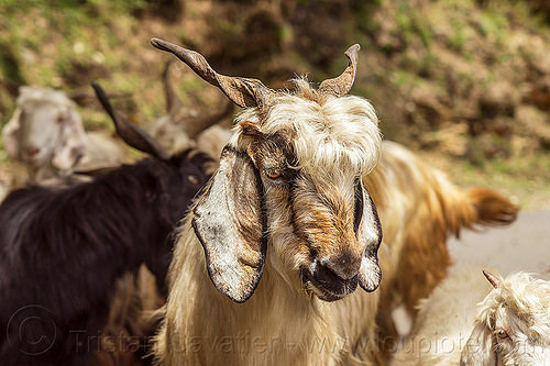 himalayan wild goat, capra aegagrus hircus, changthangi, pashmina, wild goats, wildlife