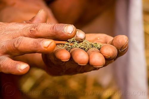 hindu baba preparing bhang (ritual cannabis), baba, bhang, cannabis, fingers, hands, hindu, hinduism, kumbha mela, maha kumbh mela, man, marijuana, sadhu