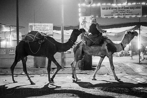 hindu pilgrim with his two camels - kumbh mela 2013 (india), backlight, double hump camels, hindu pilgrimage, hinduism, in tow, india, maha kumbh mela, man, night, pilgrim, riding, towing, walking